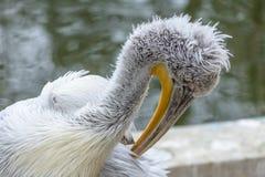Pelikanplats och skönhet i natur Den stora vita pelikan - Pe Arkivfoton