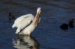 Pelikanräkning Arkivfoto