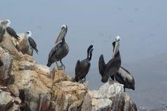 pelikanrock Royaltyfria Bilder