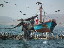 Pelikans del barco de pesca de Perú Foto de archivo