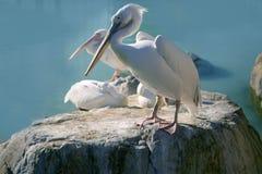 Pelikans en una roca con agua azul Imagenes de archivo