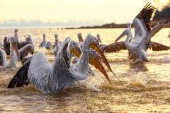 Free Pelikans In Kerkini Lake In Northern Greece Stock Image - 106157891