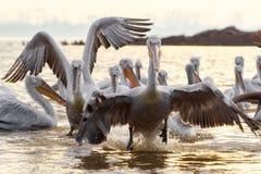 Free Pelikans In Kerkini Lake In Northern Greece Royalty Free Stock Image - 106158086