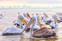 Free Pelikans In Kerkini Lake In Northern Greece Royalty Free Stock Photography - 106158167