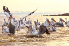 Free Pelikans In Kerkini Lake In Northern Greece Stock Photo - 106158190