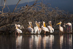Pelikans no lago Nakuru Kenya foto de stock