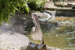 Pelikansammanträde på en journal över vattnet Royaltyfria Bilder