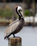 Pelikansammanträde på en stolpe Royaltyfria Bilder