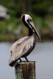 Pelikansammanträde på en stolpe Fotografering för Bildbyråer