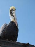 Pelikansammanträde på en Tin Roof Royaltyfria Foton