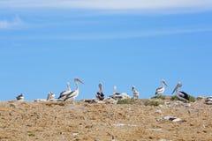 Pelikanschongebiet und -Seevögel Lizenzfreie Stockbilder