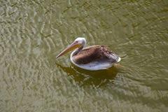 Pelikanschwimmen und Fangfische stockbilder