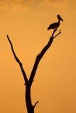 Pelikansilhouette Arkivbilder