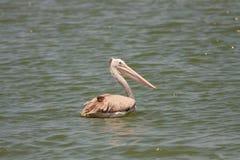 Pelikansimning i floden Fotografering för Bildbyråer