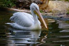 Pelikansimning i Schönbrunn-zoo, Wien Fotografering för Bildbyråer