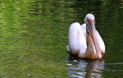 Pelikansimning i sjön Arkivbild