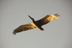 pelikansky Arkivbilder