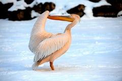 pelikansnow Arkivbild