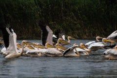 Pelikanspritzen Lizenzfreie Stockbilder