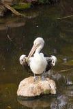Pelikanstand auf Felsen Lizenzfreies Stockfoto