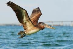 Pelikanstart i det blåa vattnet Brun pelikan som plaskar i vatten fågel i det mörka vattnet, naturlivsmiljö, Florida, USA Wildli Arkivfoton