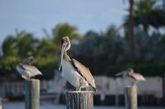 Pelikanstirrande Arkivfoto