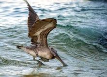 Pelikantauchen für Fische Stockbild