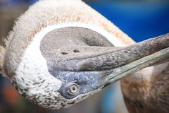 Pelikantorsion Stockbild