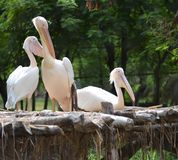 Pelikanvögel Lizenzfreies Stockbild