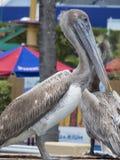 Pelikanvögel in Miami Seaquarium Lizenzfreies Stockbild