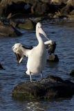 Pelikanvingspridning Royaltyfri Foto