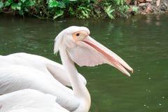Pelikanvogel auf einem Teich, welche nach Nahrung sucht lizenzfreie stockfotografie