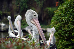 Pelikanvogel Pelecanus conspicilatus Stockfotografie
