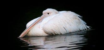 Pelikanweiß stockfotografie