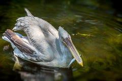 Pelikanweiß Lizenzfreie Stockfotografie