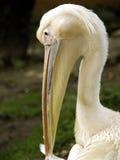 pelikanwhite Arkivbild