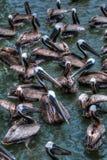 pelikany obraz stock