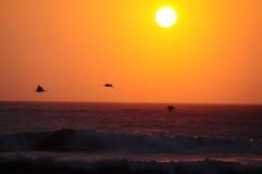 pelikany Zdjęcie Stock
