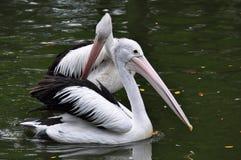 pelikany Zdjęcie Royalty Free