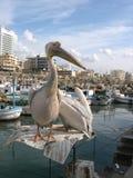pelikany zdjęcia royalty free