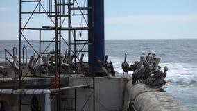 pelikany zdjęcie wideo