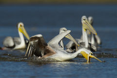 pelikany Fotografia Stock