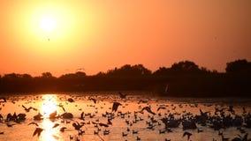 Pelikany i seagulls na wodzie przy świtem zbiory