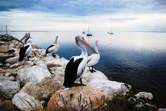 Pelikany, kangur wyspa, Australia Obraz Stock