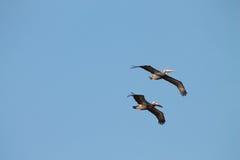 Pelikany latają przez niebieskiego nieba Fotografia Royalty Free