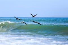 Pelikany latają w formaci Obrazy Stock