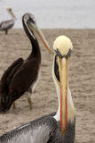 Pelikany na Ballestas wyspach, Paracas park narodowy w Peru fotografia royalty free