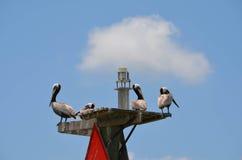 Pelikany na górze markiera Bouy obraz royalty free