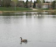 Pelikany na jeziorze z gąską fotografia royalty free