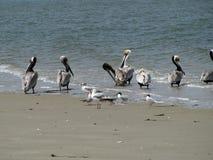 Pelikany na plaży Fotografia Royalty Free